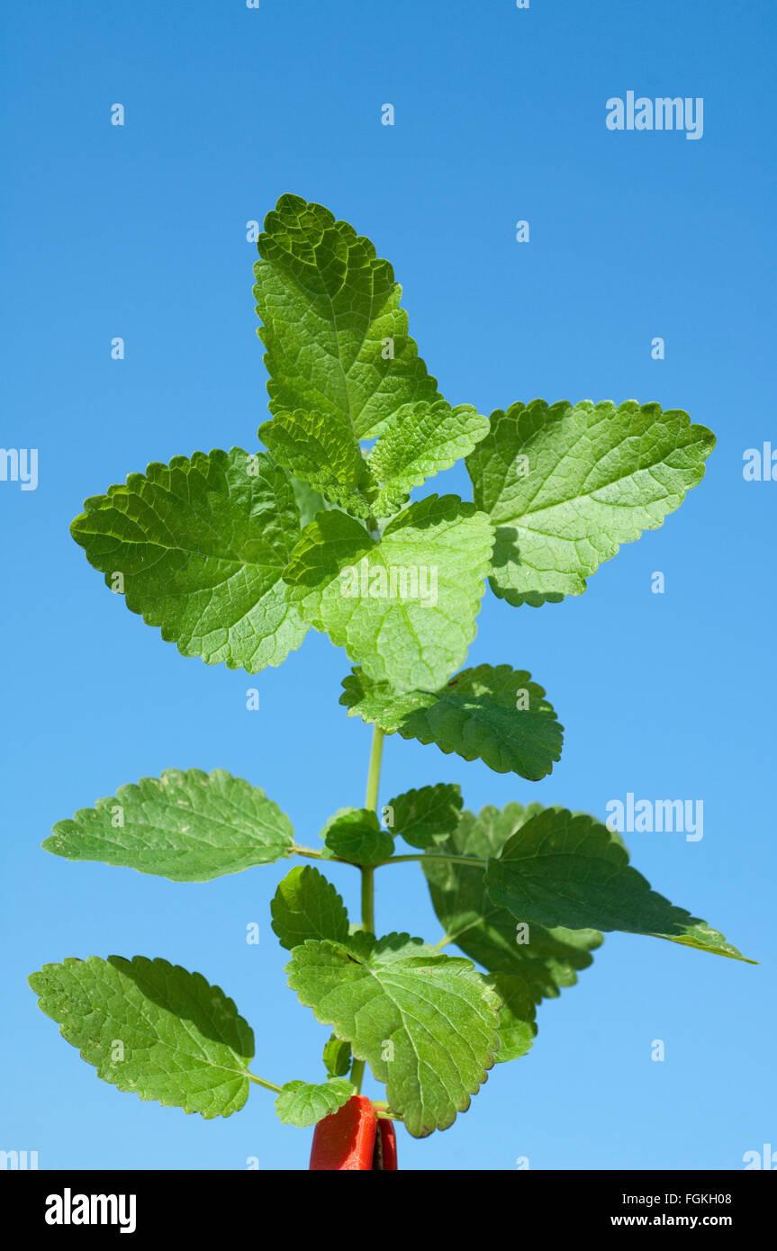 Zitronenmelisse, Lemon balm; Melissa; officinalis; Stock Photo