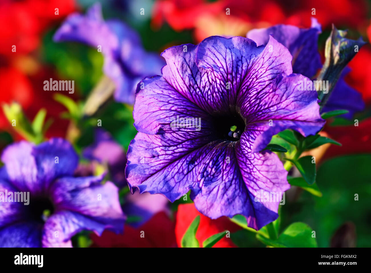Floral background. Flowers of Petunia close up - Stock Image