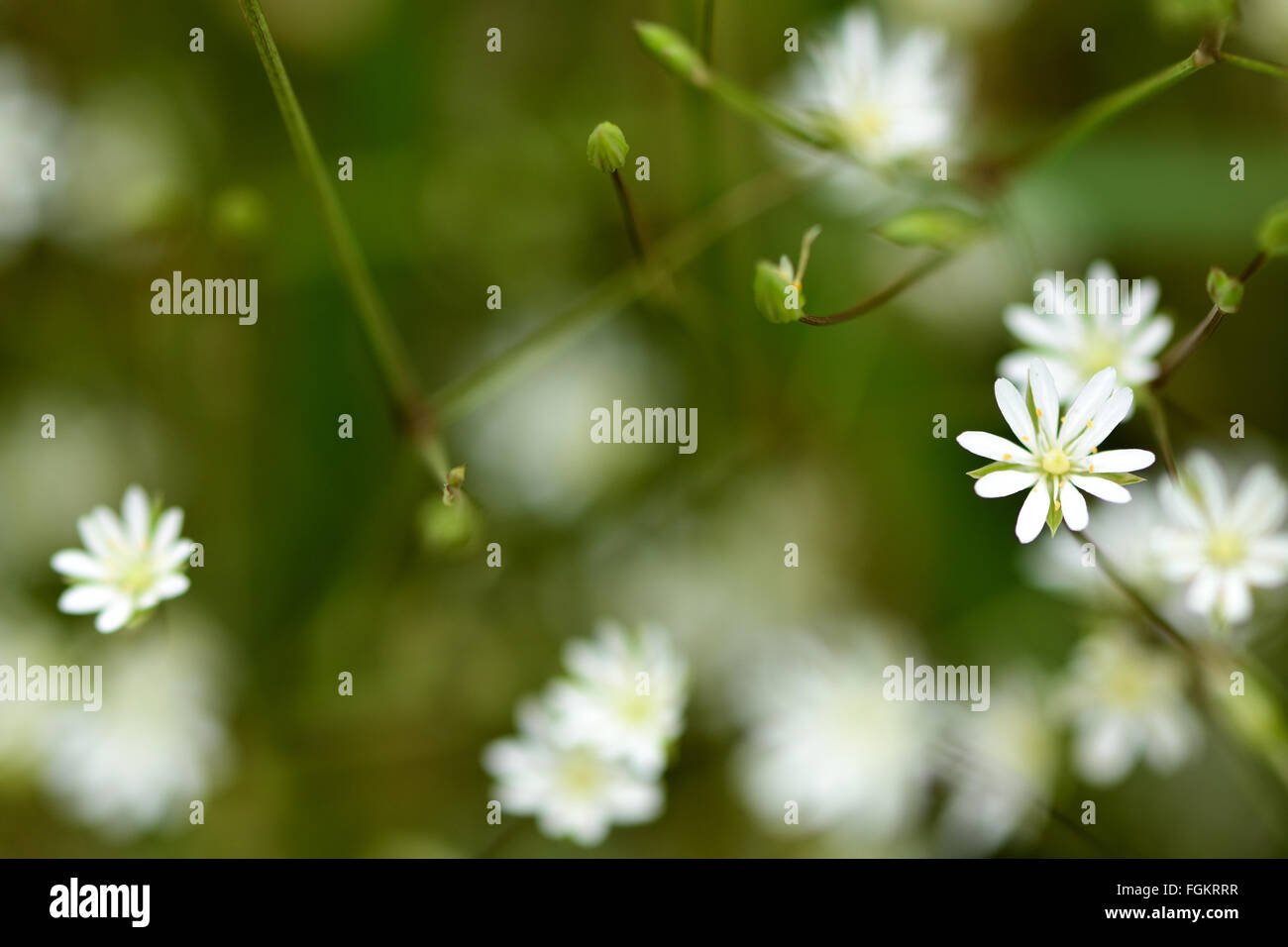Lesser stitchwort (Stellaria graminea). A white plant in the family Caryophyllaceae, flowering in an English woodland Stock Photo