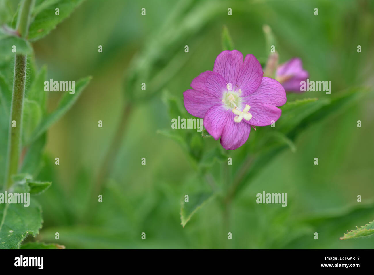 Great willowherb (Epilobium hirsutum). A close up of a pink flower of a large plant in the family Onagraceae - Stock Image