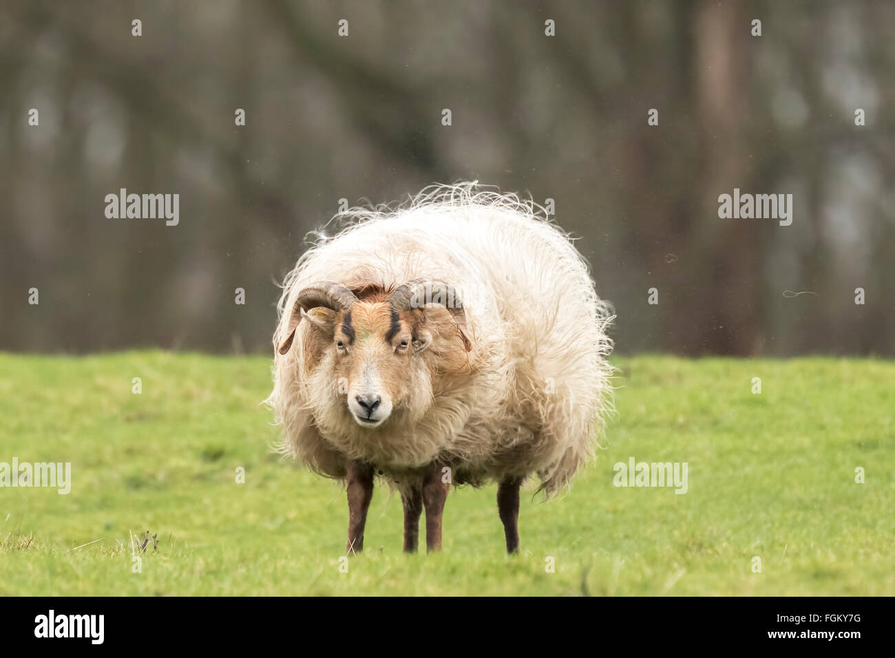 Sheep is shaking off fuzz and fluff. Flocks of hair are flying in the air. It is almost Spring, then the wool of - Stock Image
