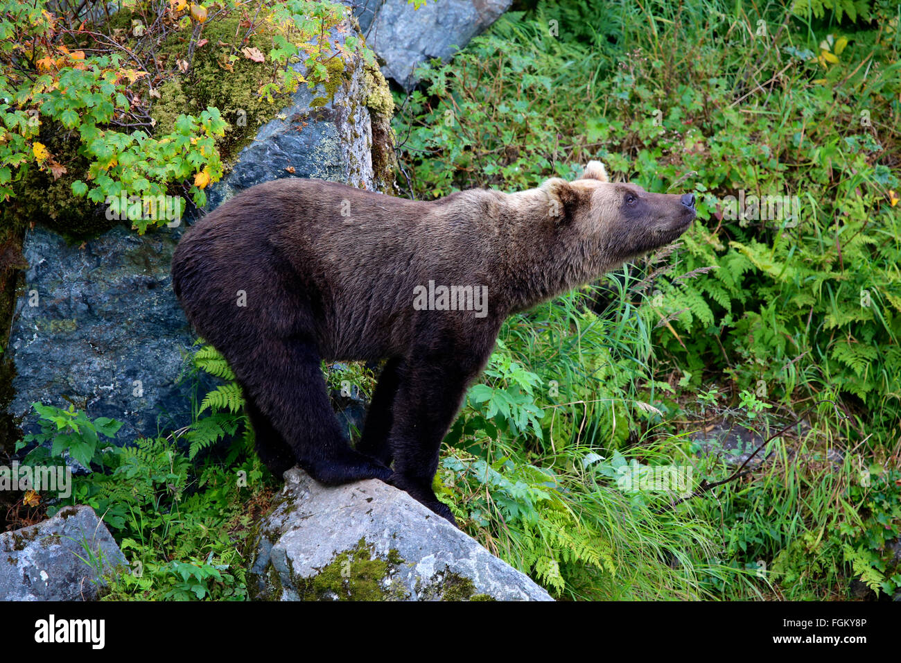 Grizzly Bear balancing on rock in Redoubt Bay, Alaska - Stock Image