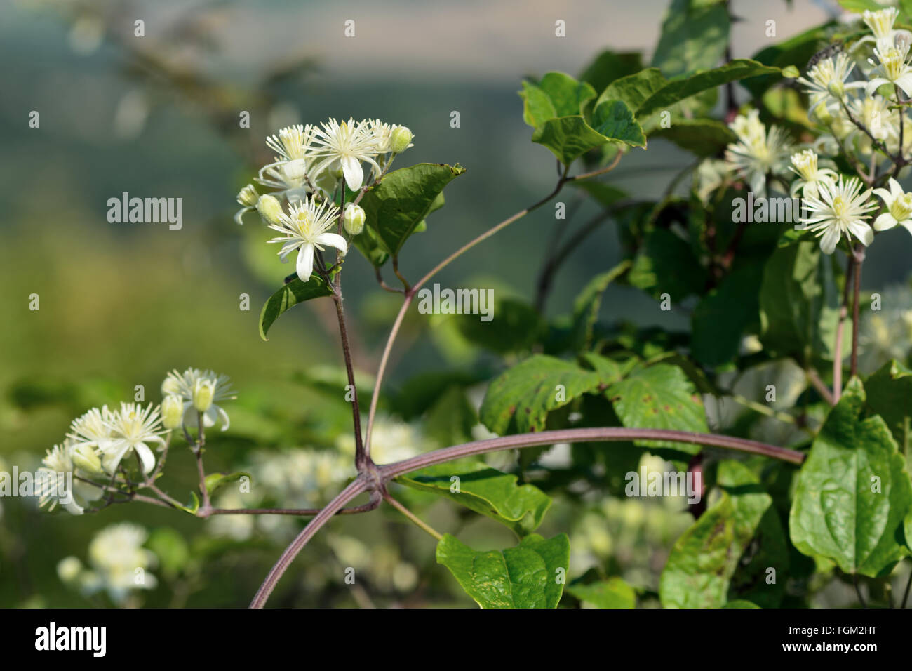 Traveller's-joy (Clematis vitalba). Climbing shrub in the buttercup family (Ranunculaceae), bearing attractive white Stock Photo