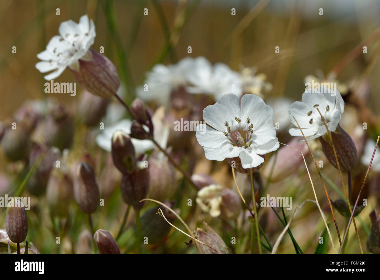 Sea campion (Silene vulgaris) in flower. A delicate flower in the family Caryophyllaceae, seen from a low angle Stock Photo