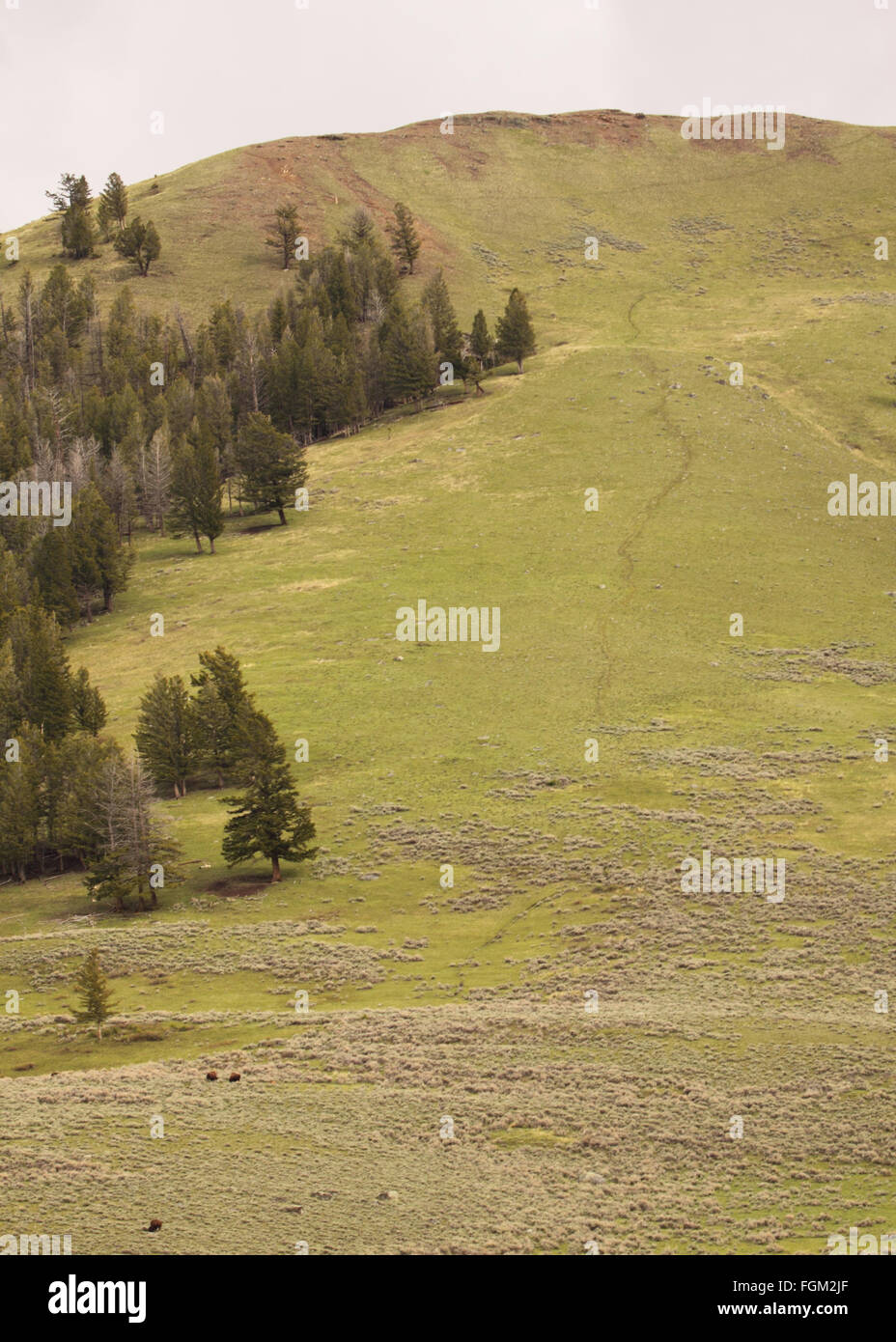 The trail of American Bison down a lonely mountain. - Stock Image