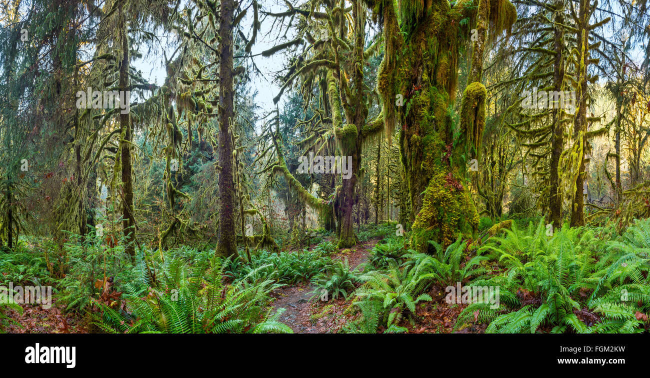 The Hoh Rainforest of Olympic National Park in Washington State. - Stock Image
