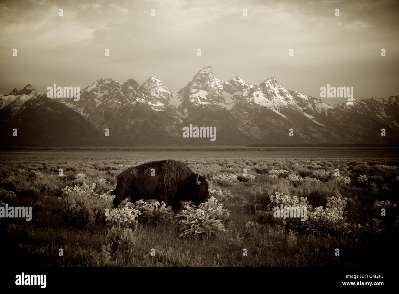 American Bison walking in front of Grand Teton National Park - Stock Image