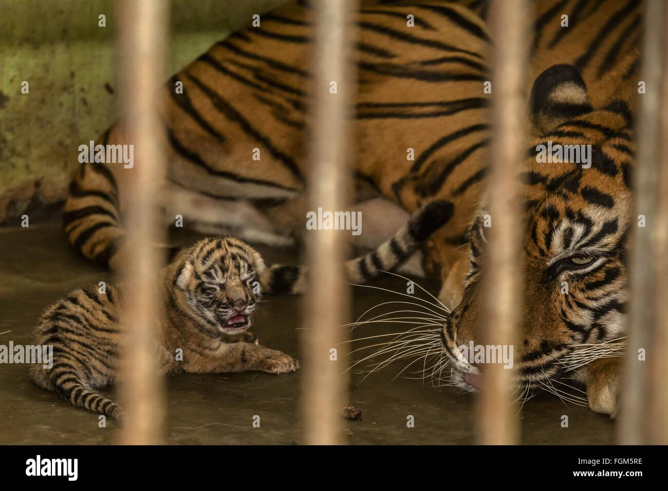 Beijing, China. 18th Feb, 2016. Photo taken on Feb. 18, 2016 shows a 17-year-old Sumatran tiger staying with her - Stock Image