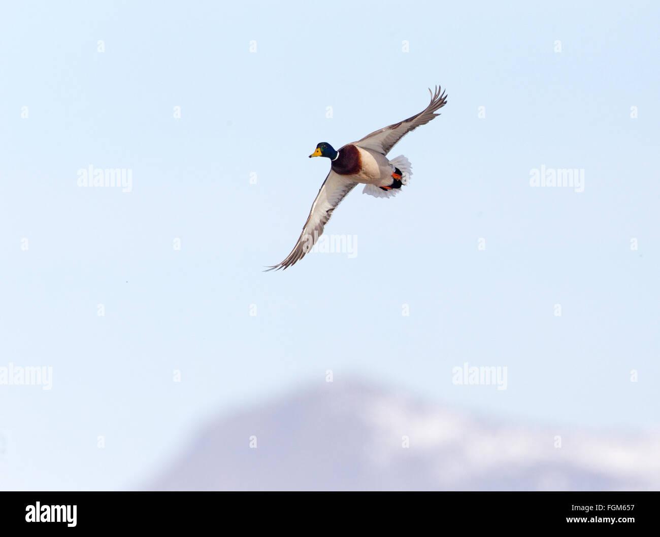 Mallard Drake in Flight - Stock Image