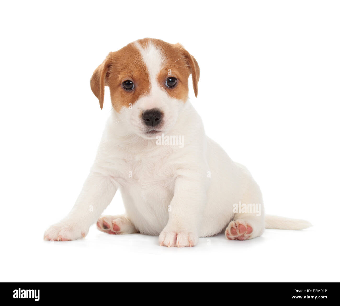 Jack Russell Terrier puppy isolated on white background. Front view, sitting. - Stock Image