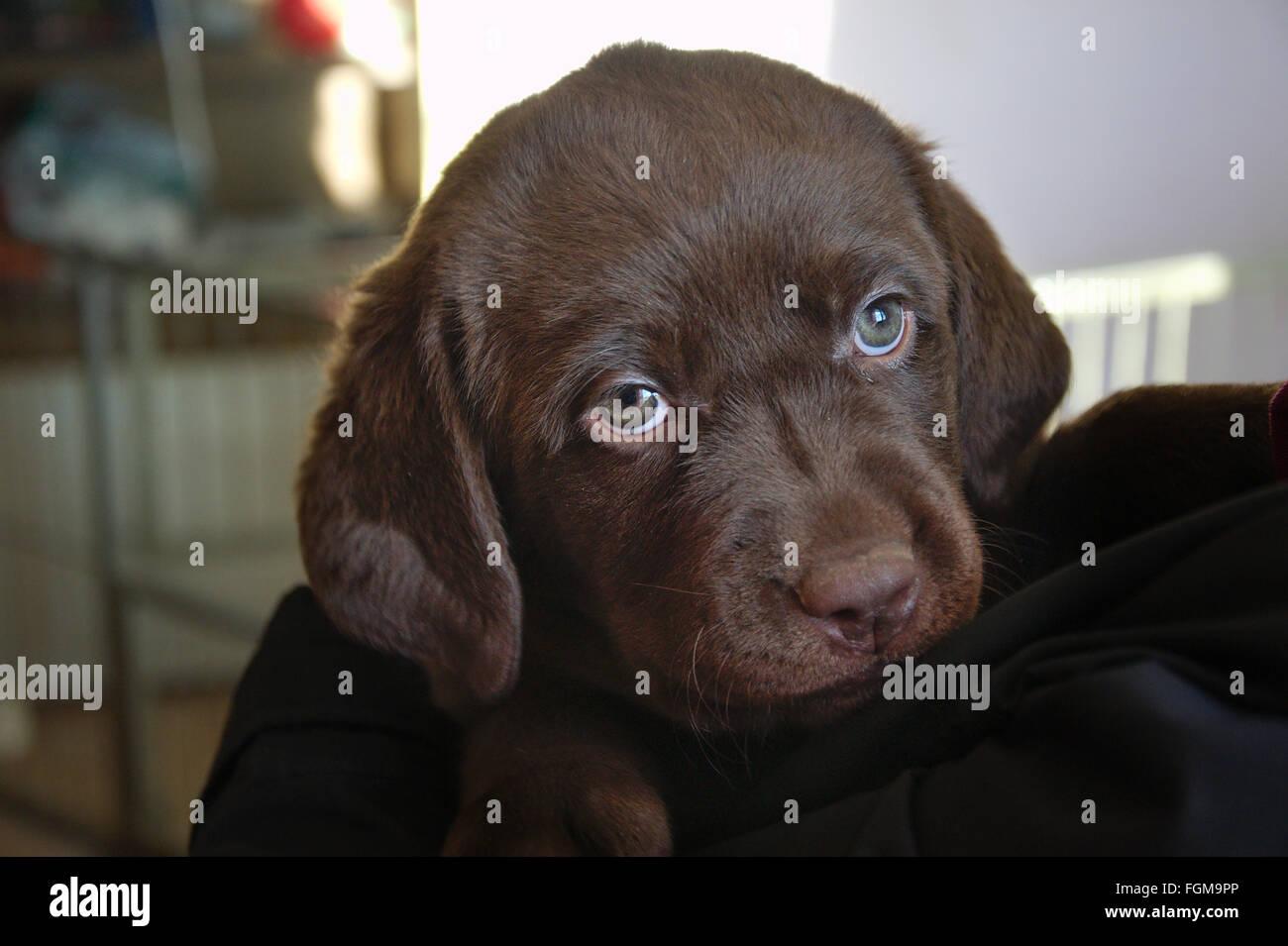 a brown cute Labrador Puppy - Stock Image