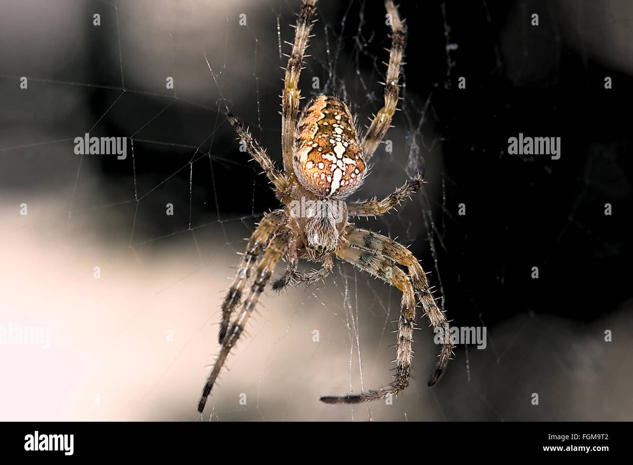 a Cross Spider - Stock Image