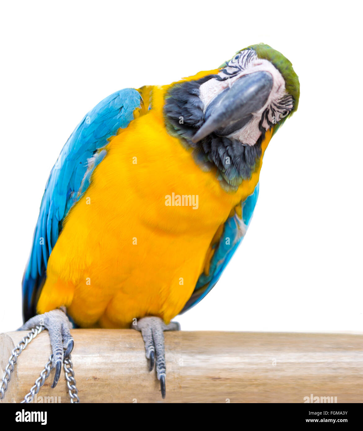 pets, bird, parrot, animals, yellow, macaw, birds, colored, blue, animal, multi, background, isolated, white, portrait, - Stock Image
