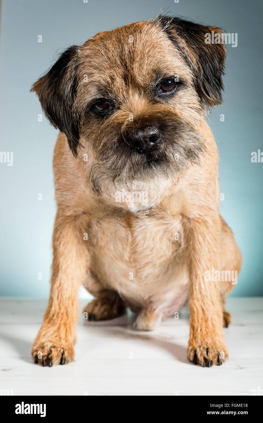 Freshly Groomed Adult Border Terrier - Stock Image