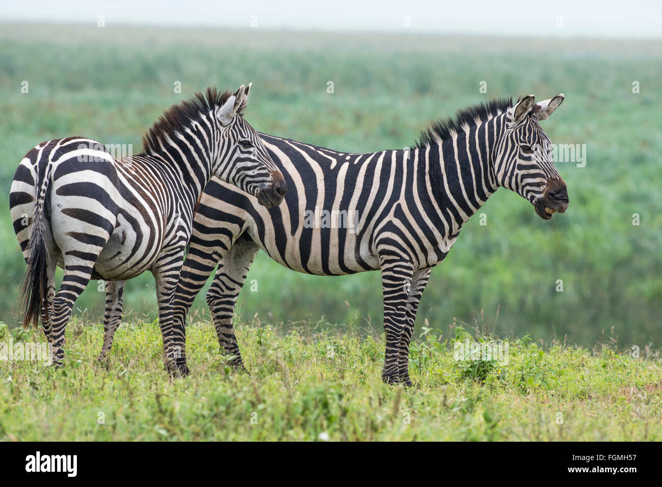 Plains or Burchell's zebra (Equus quagga), Ngorongoro Crater, Tanzania. The animal on the right is calling to - Stock Image