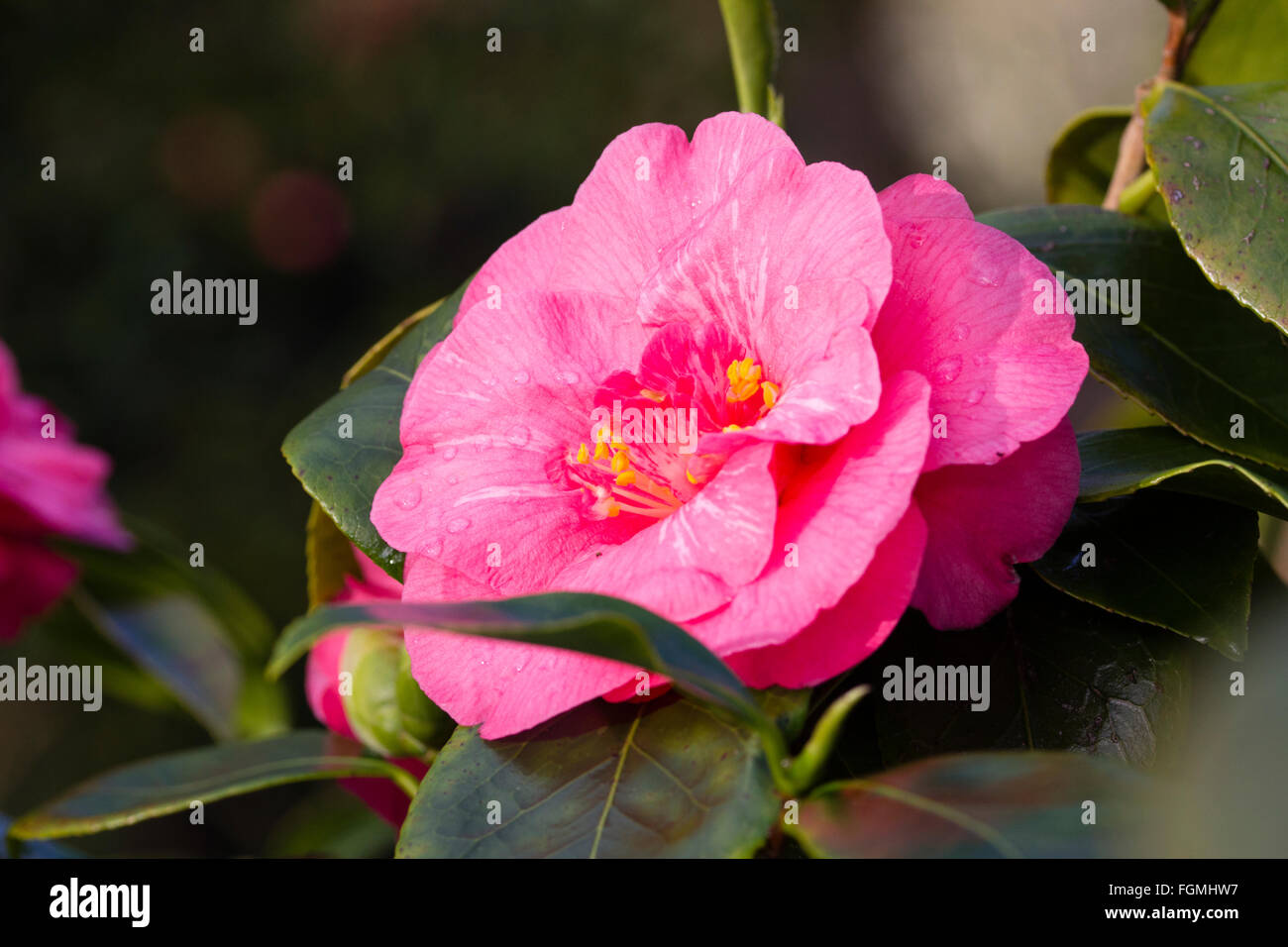 Double pink flowers of the winter blooming evergreen, Camellia x williamsii 'Thomas Cornelius Cole' - Stock Image
