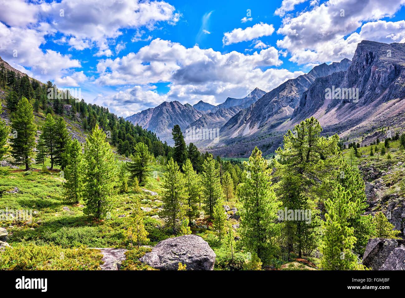 Siberian mountain rare woods. Eastern Sayan . Buryatia - Stock Image