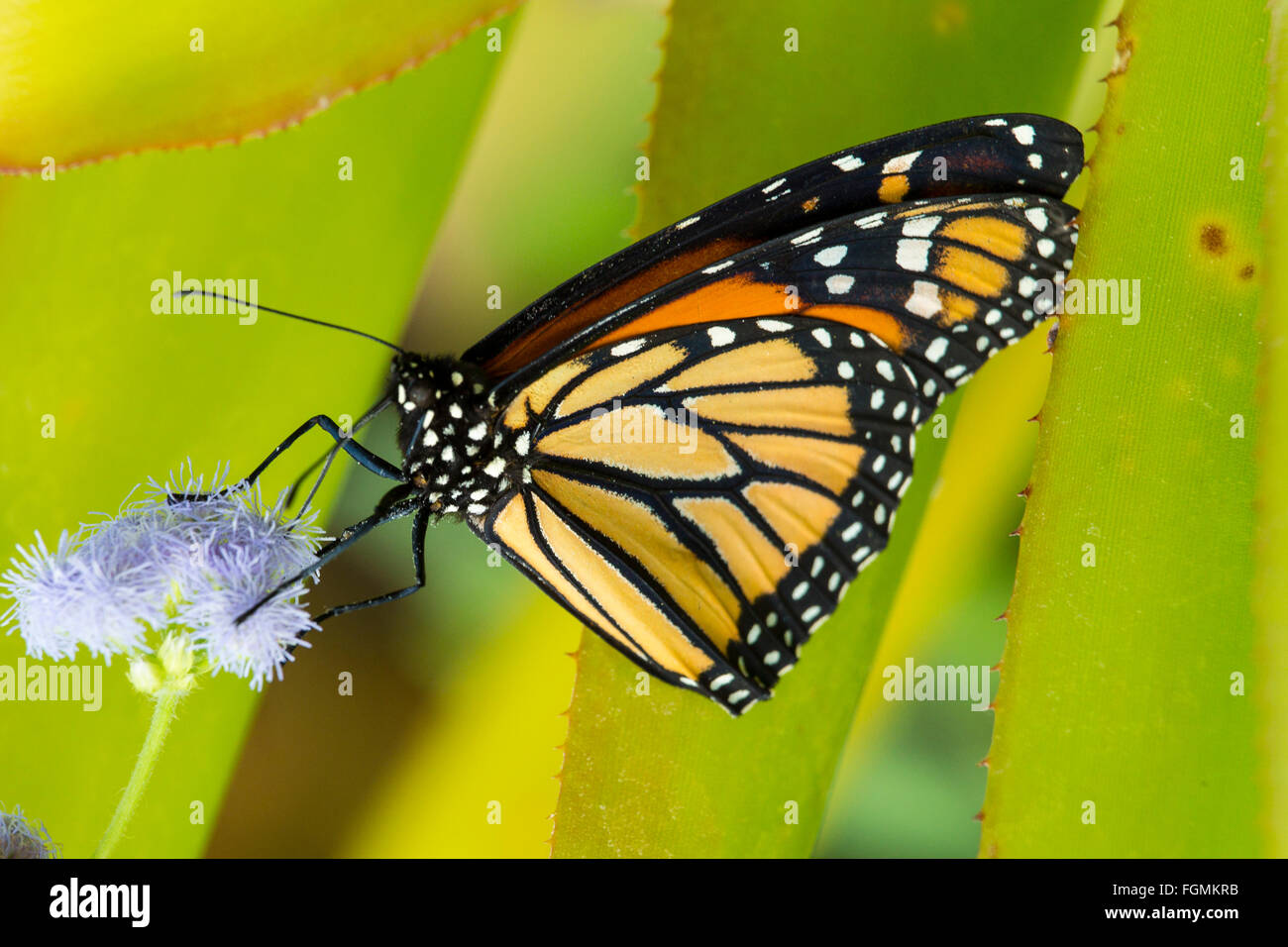 Monarch Butterfly Danaus plexippus at The Butterfly Estates in Fort Myers Florida - Stock Image