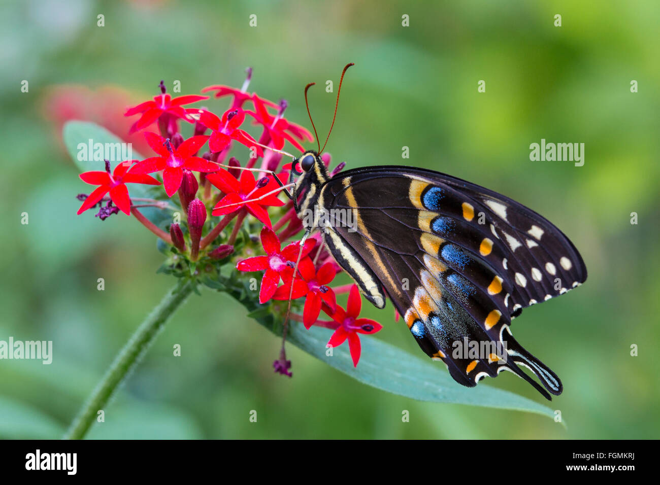 Eastern Black Swallowtail butterfly Papilio polyxenes at The Butterfly Estates in Fort Myers Florida - Stock Image
