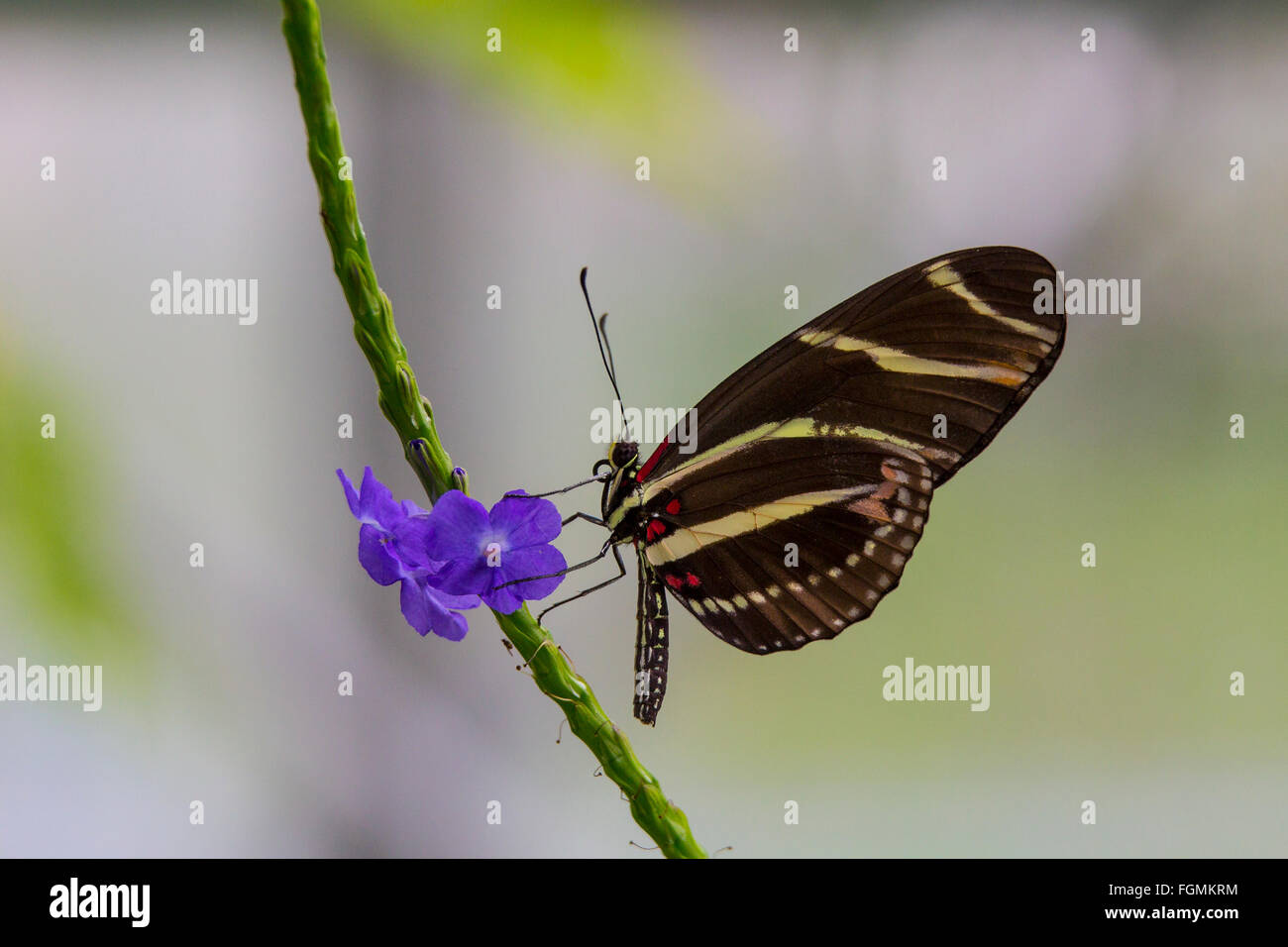 Zebra Longwing Butterfly  Heliconius charitonia on a flower at The Butterfly Estates in Fort Myers Florida - Stock Image