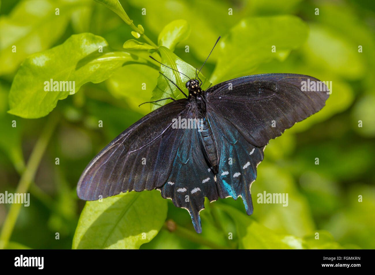 Pipevine Swallowtail butterfly Battus philenor at The Butterfly Estates in Fort Myers Florida - Stock Image