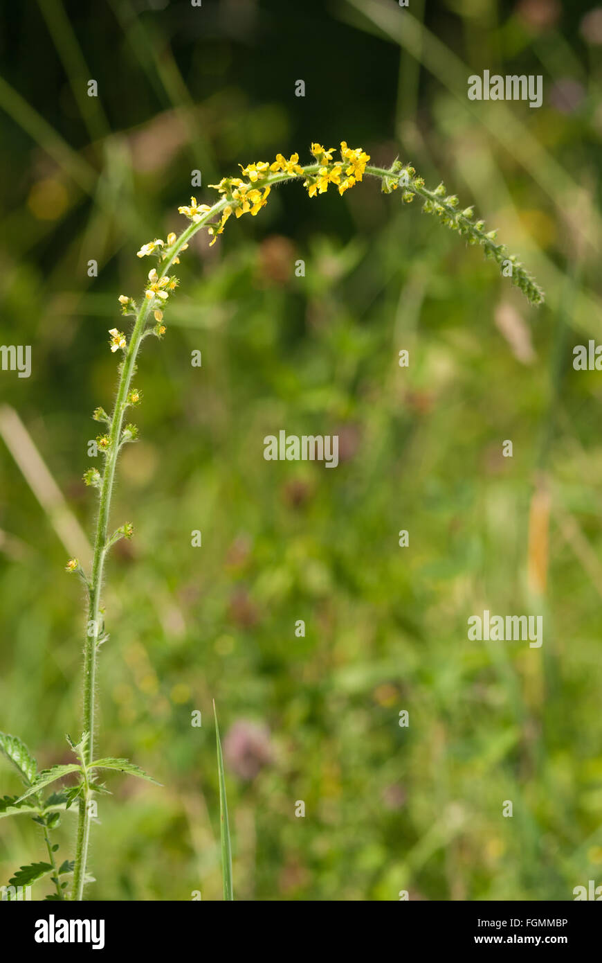 Agrimony or Liverwort wild flower considered to have magical properties Agrimonia eupatoria used to stop staunch - Stock Image