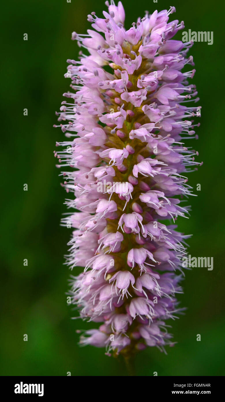 Purple flower pod. - Stock Image