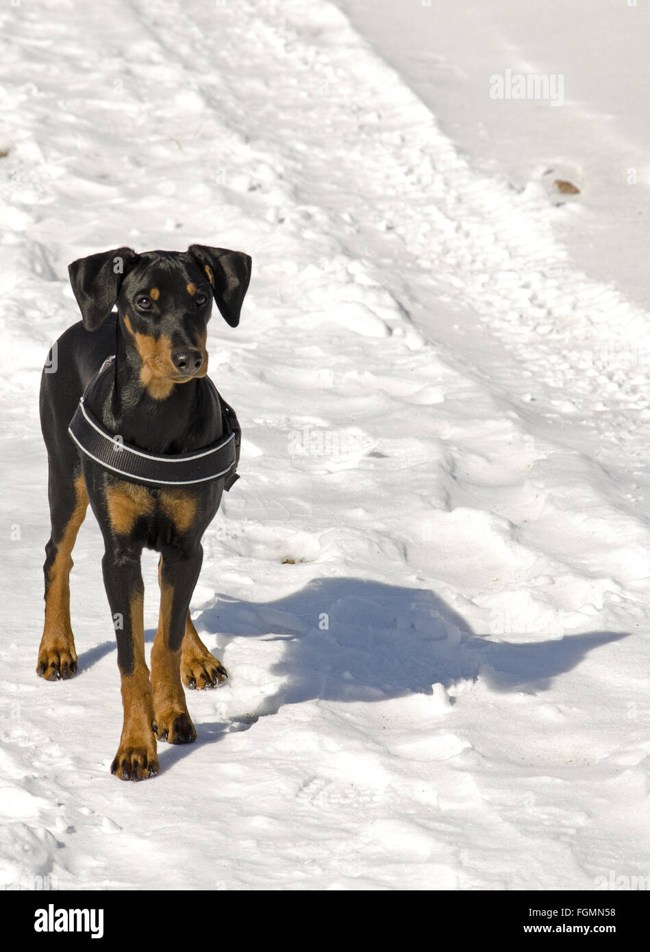 German Pinscher in the snow. - Stock Image