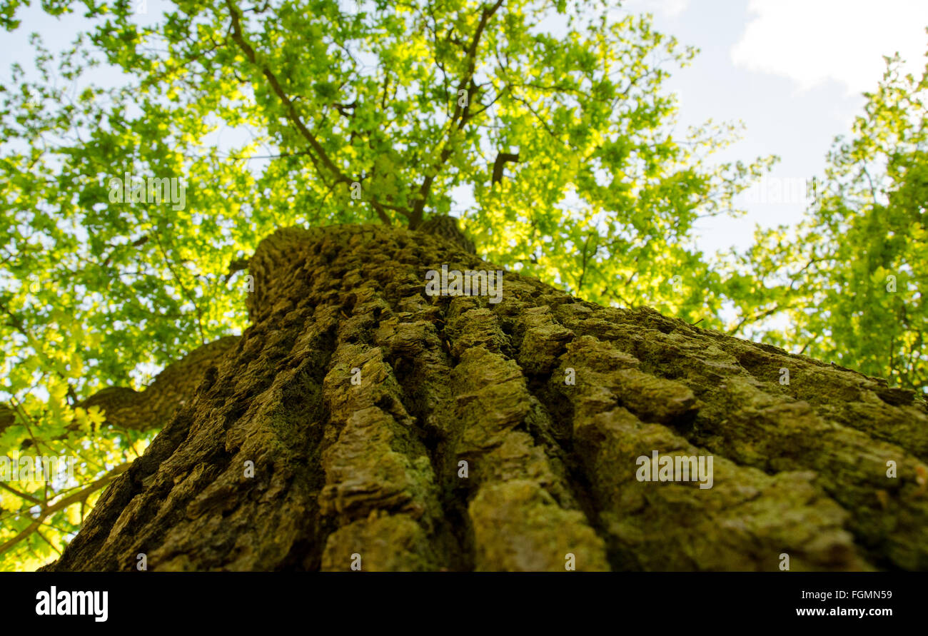 Skyward view along a tree trunk - Stock Image