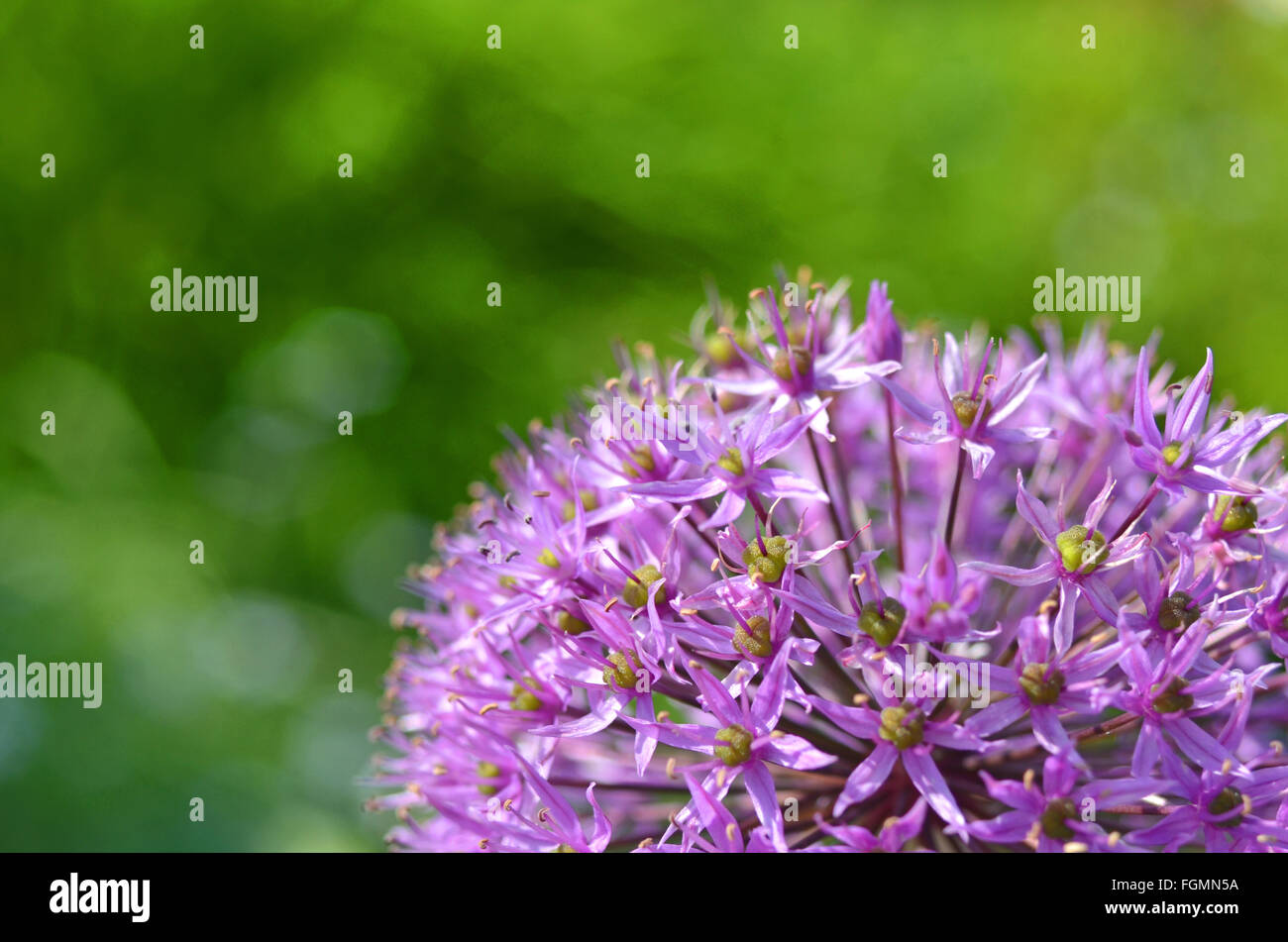 Close-up of a Persian Onion flower - Stock Image