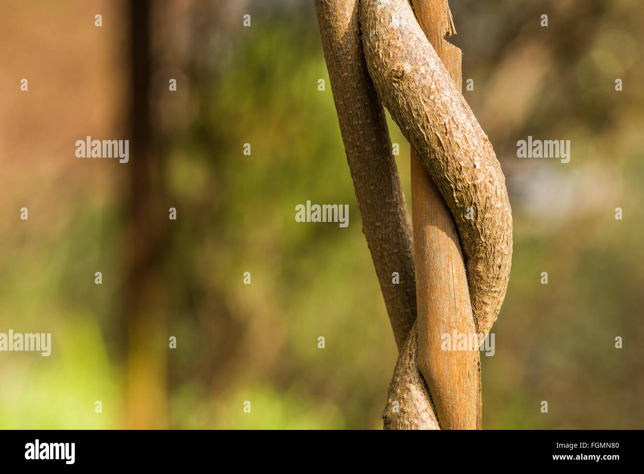 Twisted wisteria vine around bamboo can that is becoming crushed and strangled by developing new growth reduce vascular - Stock Image