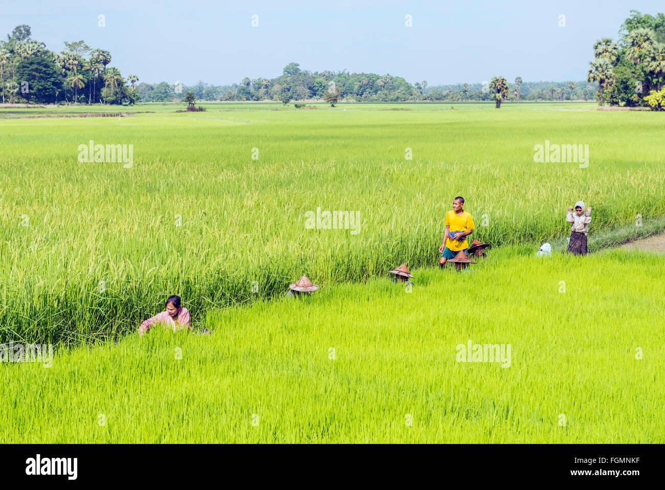 Farmers on a rice field, Burma - Stock Image