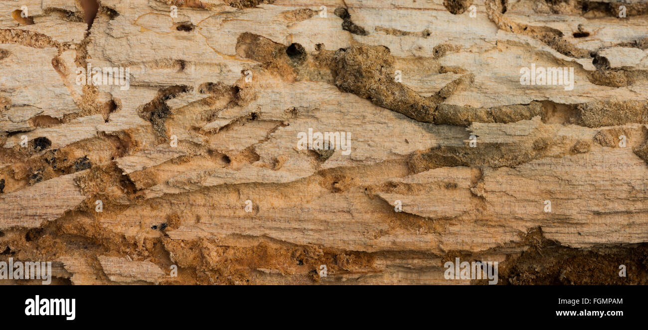 burrow chambers in dead cherry tree trunk exposed to reveal wood worm and beetle burrows side chambers plugged with - Stock Image