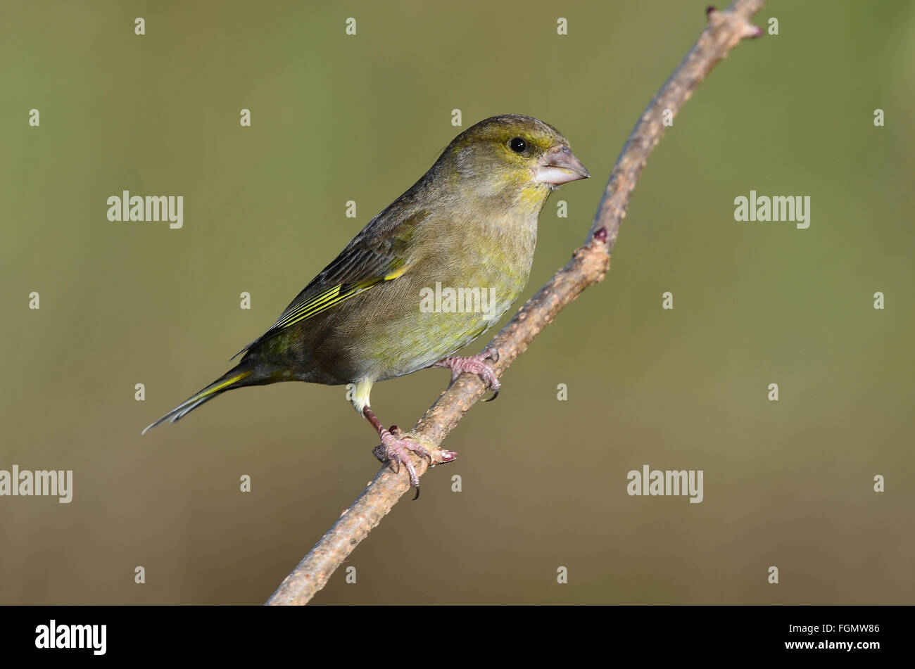 A greenfinch on a twig UK - Stock Image