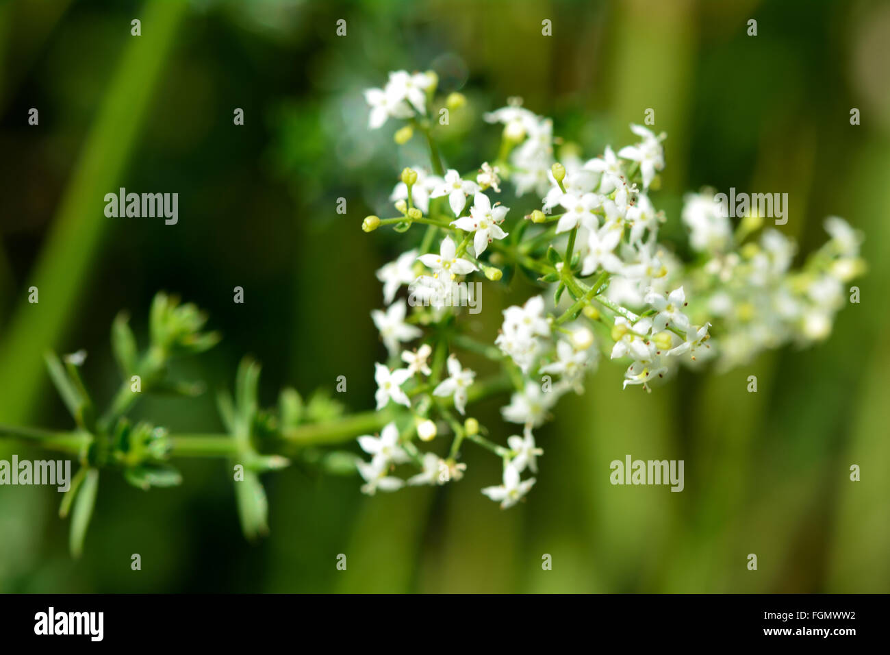 Hedge Bedstraw Galium Mollugo In Flower Detail Of Flowers Of This