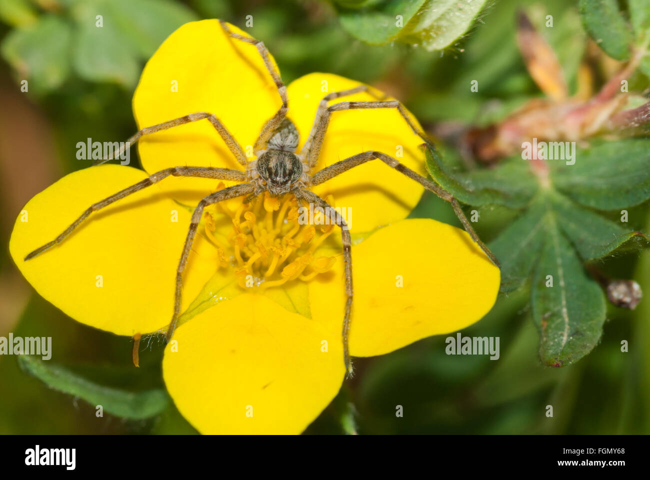 Wolf spider,  Pardosa groenlandica, perched on top of a buttercup flower near Consolation Lakes in Banff National - Stock Image