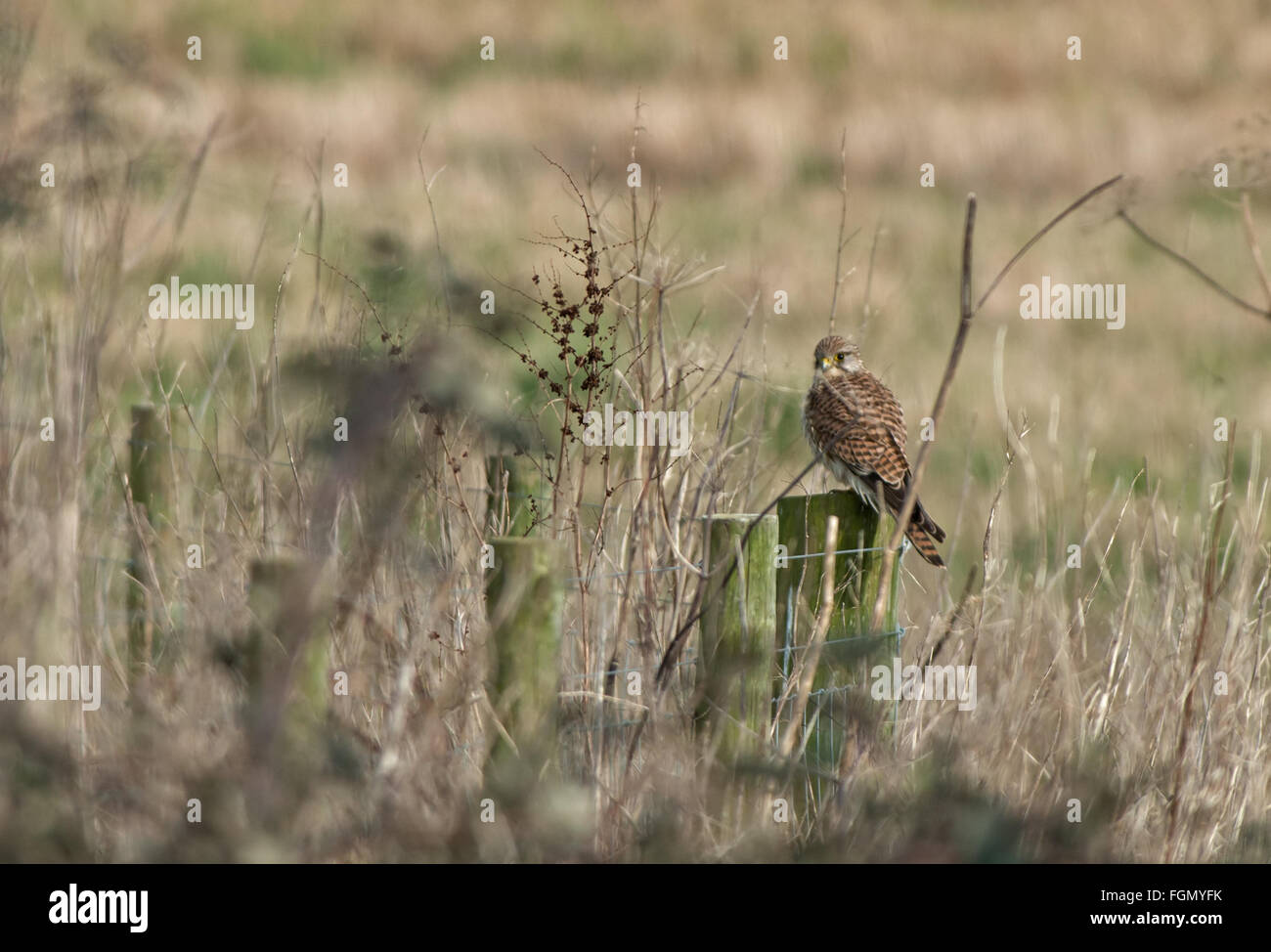 Female Kestrel, Falco-tinnunculus Perches On Fence Post. Uk - Stock Image