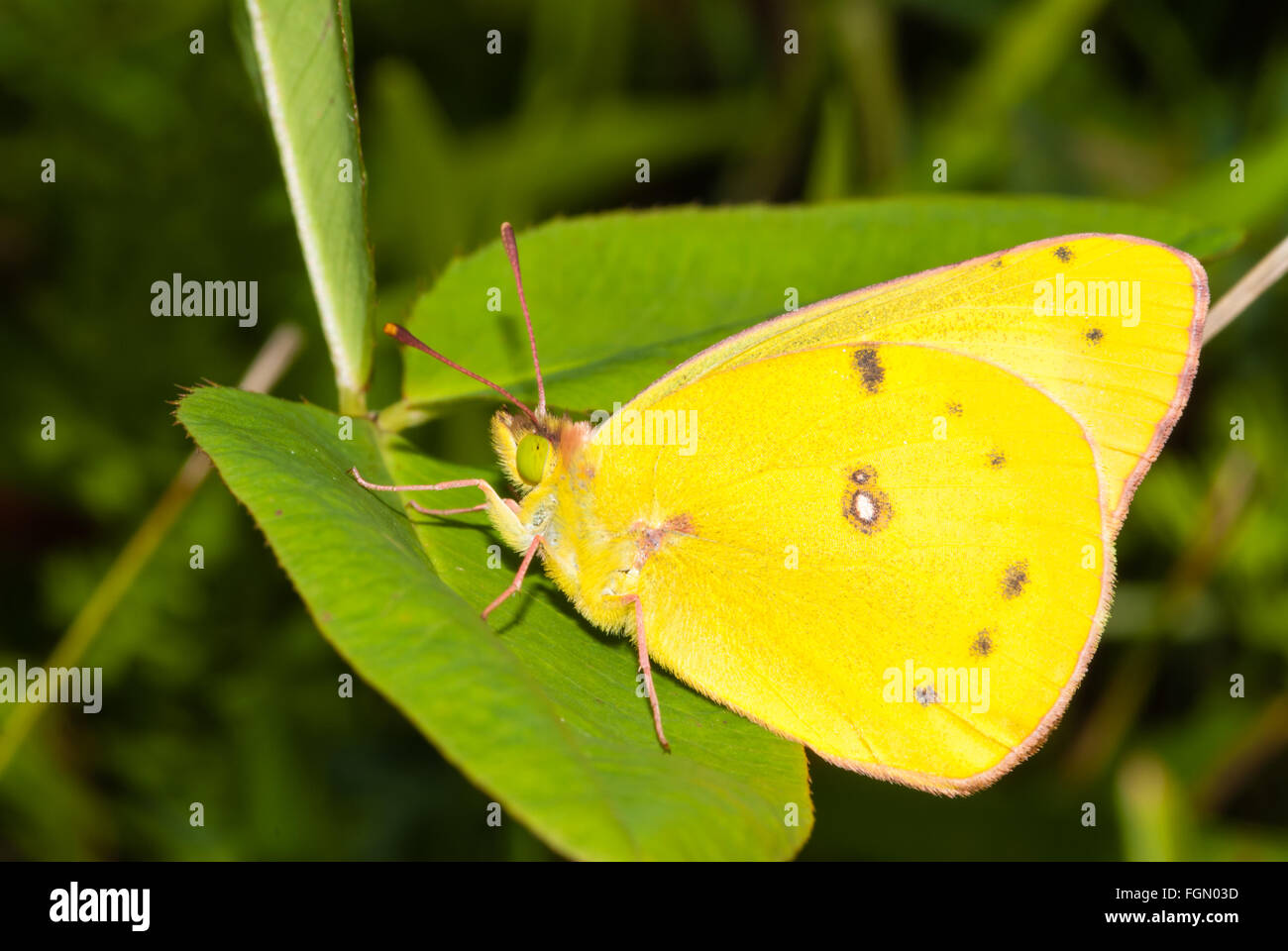 Clouded sulfur butterfly, Colias philodice, perched on a leaf, Parrot's Bay Conservation Area, Ontario, Canada - Stock Image