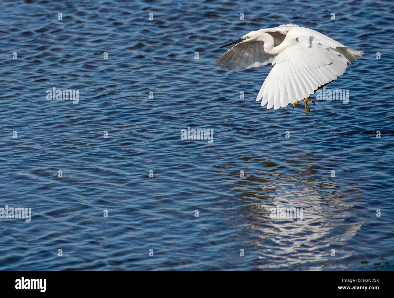 Little egret, Egretta garzetta, in flight over lagoon, Quinta de Marim, Natural Park Ria Formosa, Algarve, Portugal Stock Photo