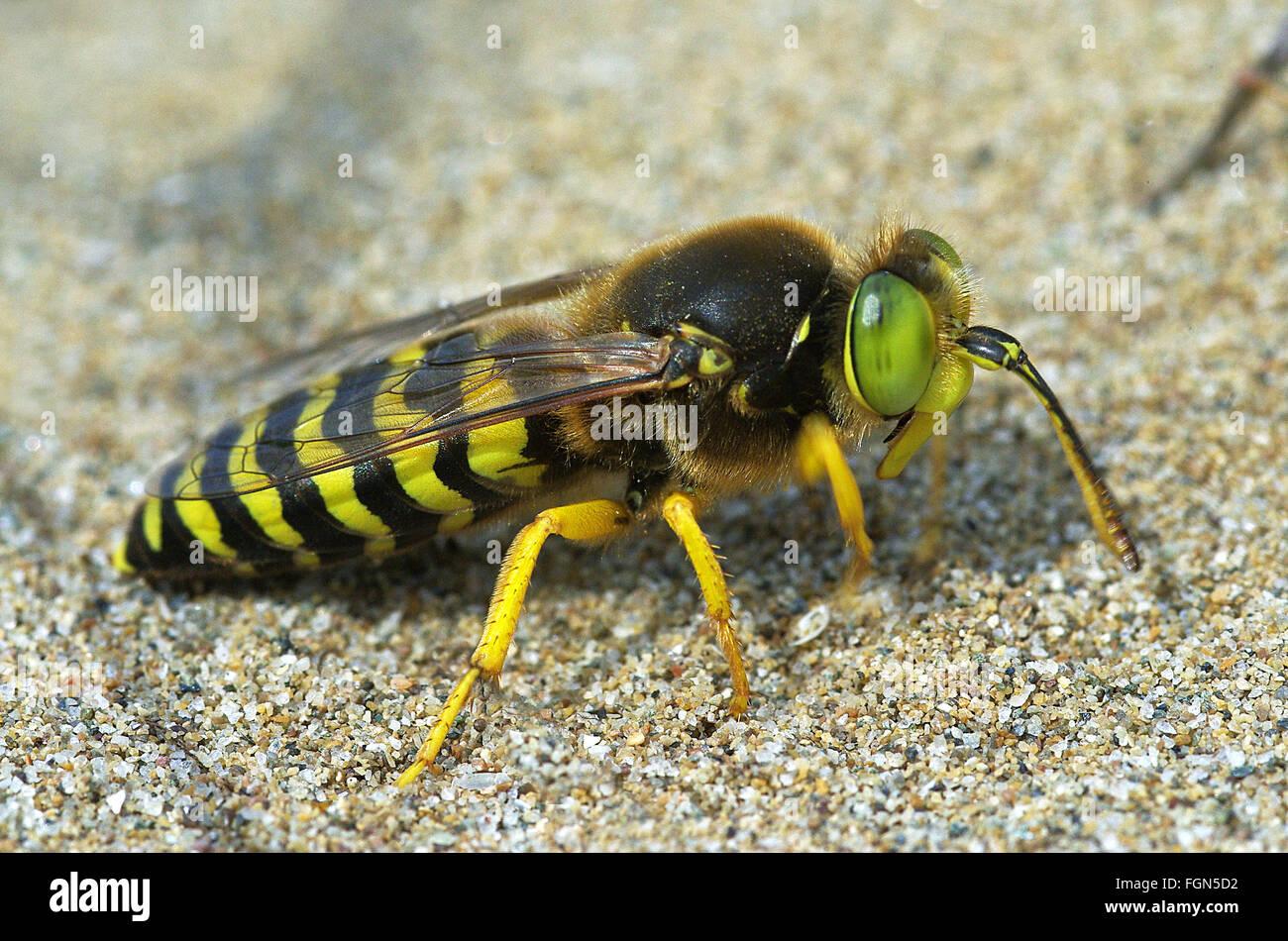 sand wasp Bembix rostrata (Crabronidae) - Stock Image