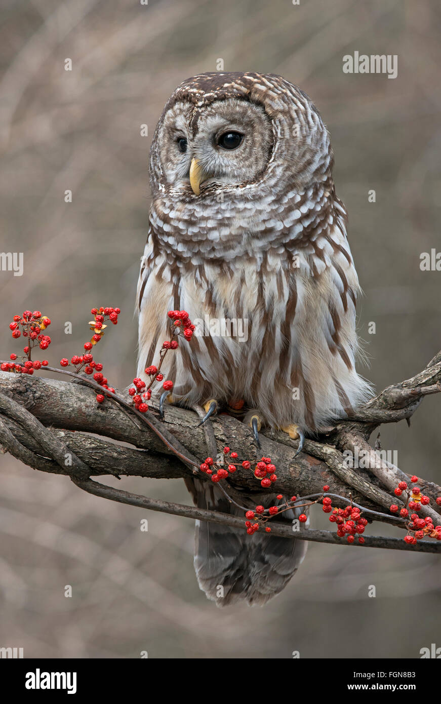 Barred Owl (Strix varia) sitting on branch of tree, with Bittersweet berries ((Celastrus scandens), Winter, Michigan - Stock Image