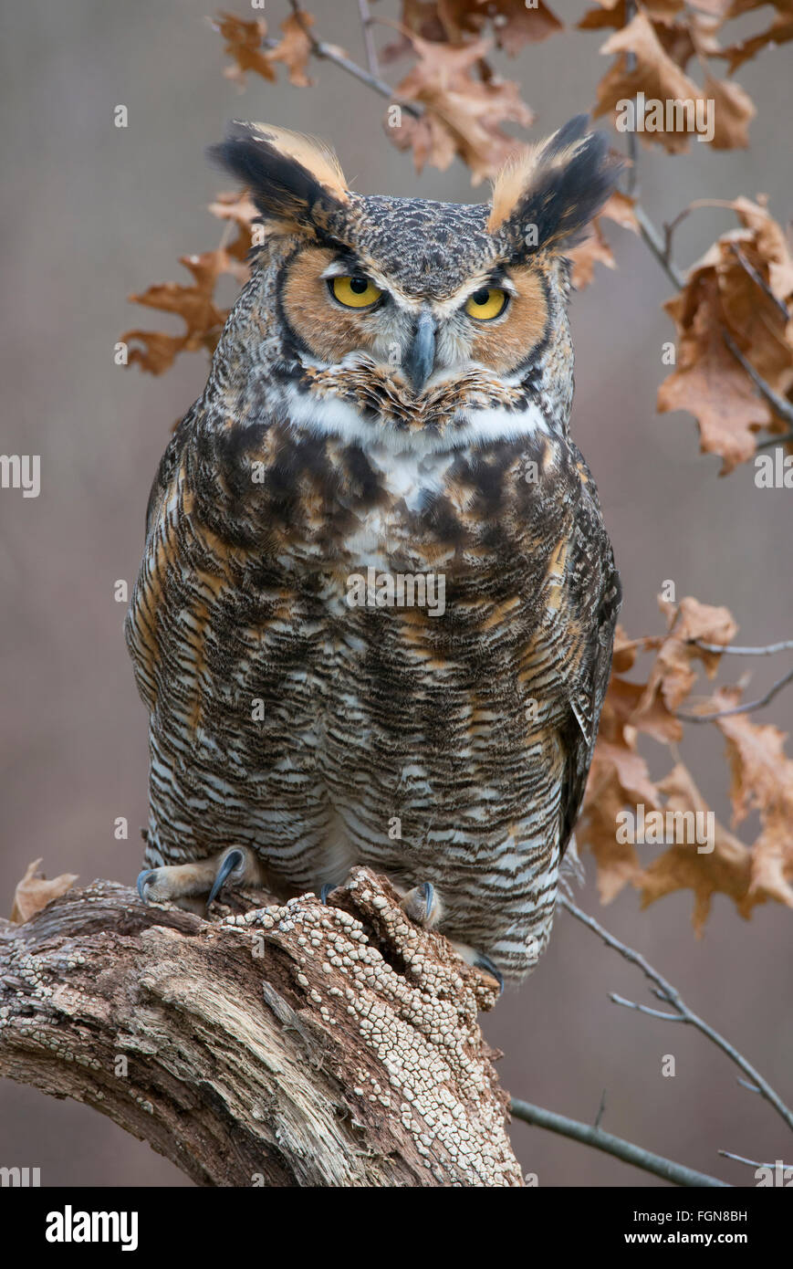 Great Horned Owl Bubo virginianus perched on tree stump, Eastern North America - Stock Image
