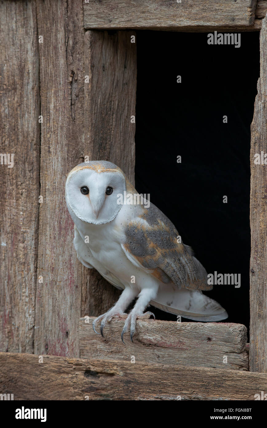 Barn owl (Tyto alba) sitting on barn window sill, Eastern USA - Stock Image