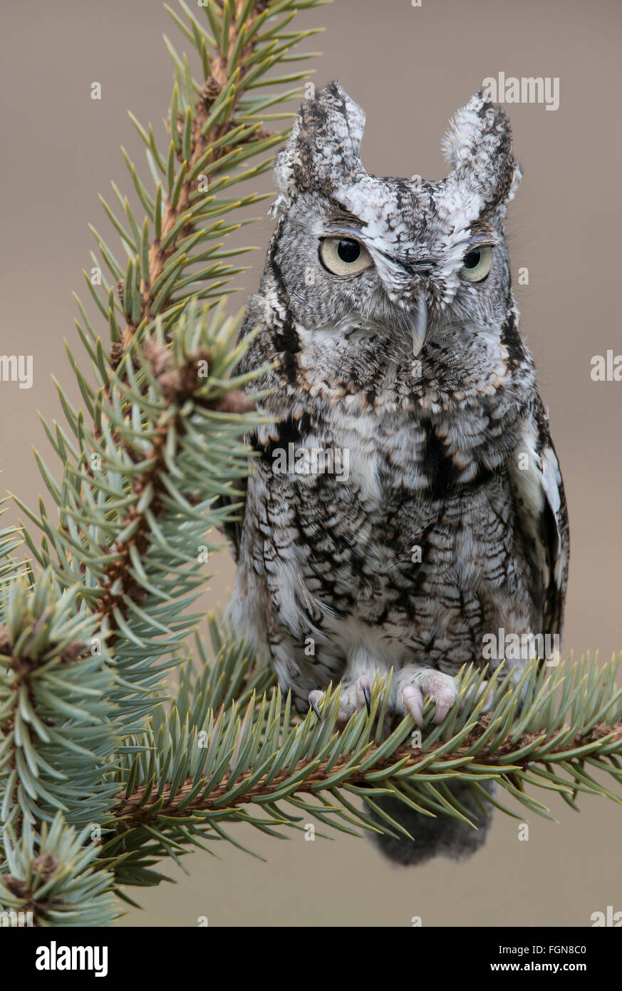 Eastern Gray Screech Owl Otus asio, gray phase, sitting on Spruce tree, Eastern North America - Stock Image
