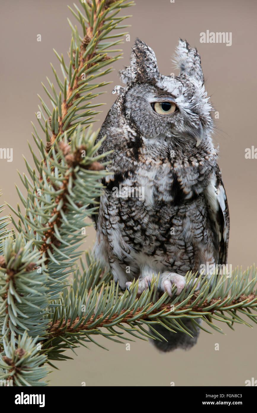 Eastern Gray Screech Owl Otus asio, gray phase, sitting on Spruce tree, Eastern North America - Stock Image