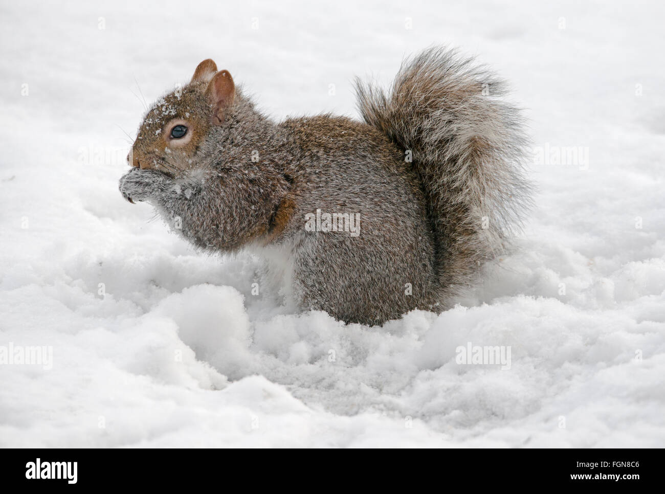 Eastern Gray Squirrel (Sciurus carolinensis) eating stored nuts, after snow storm, Michigan USA - Stock Image
