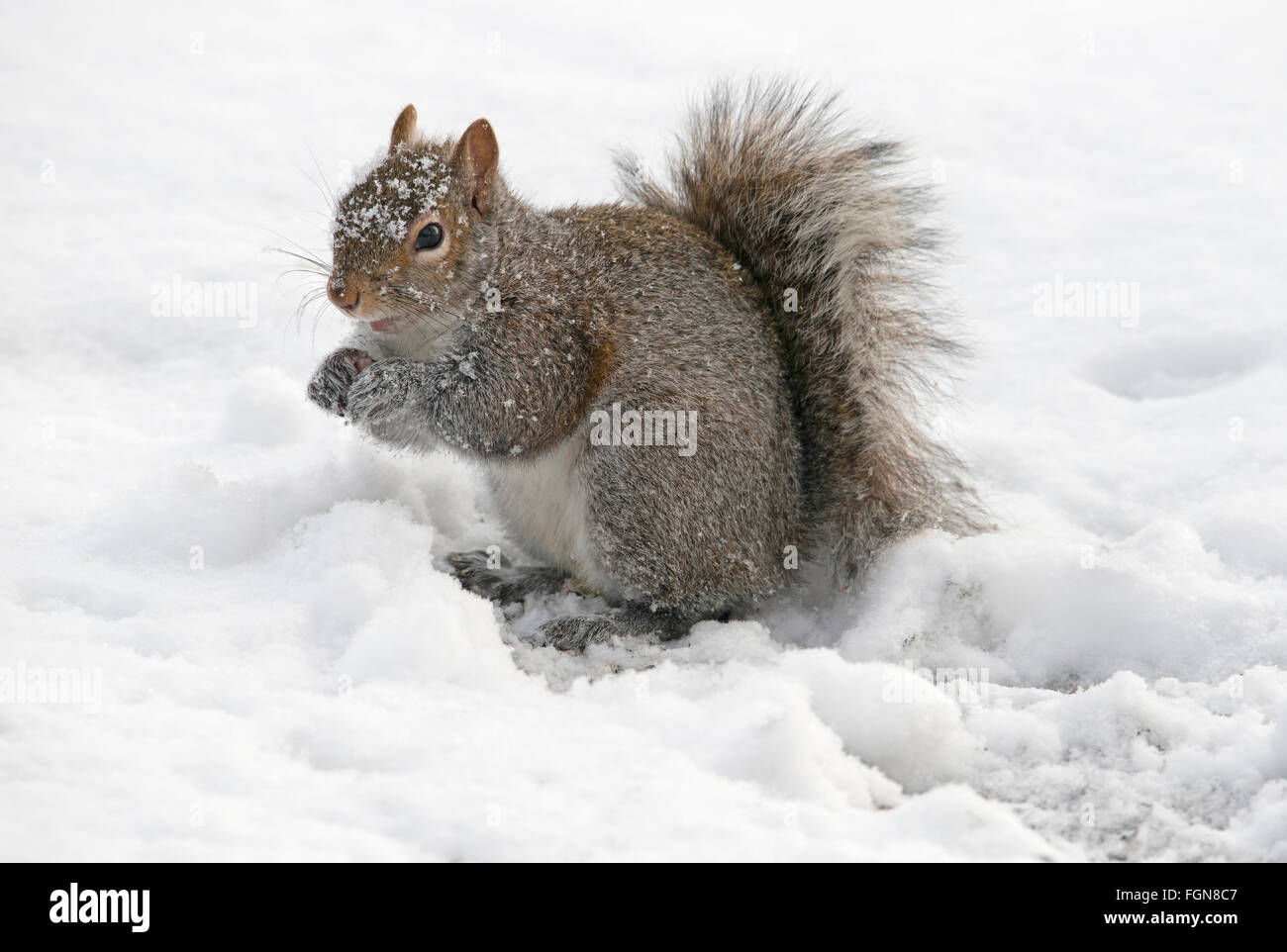 Eastern Gray Squirrel (Sciurus carolinensis) eating stored acorns after snow storm, Michigan USA - Stock Image