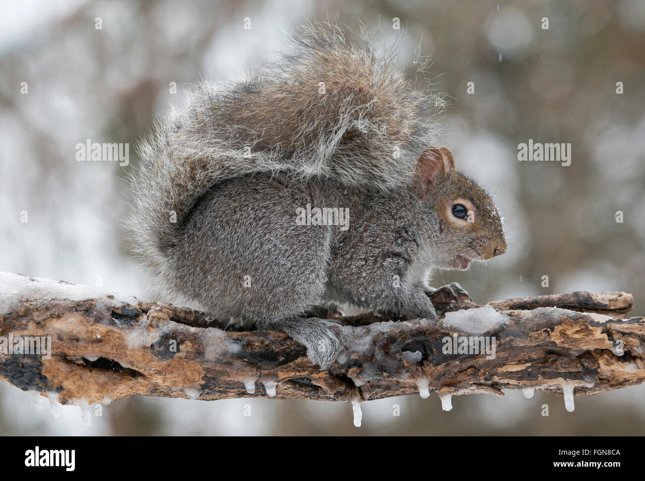 Eastern Gray Squirrel (Sciurus carolinensis) looking for food after snow storm, Michigan USA - Stock Image