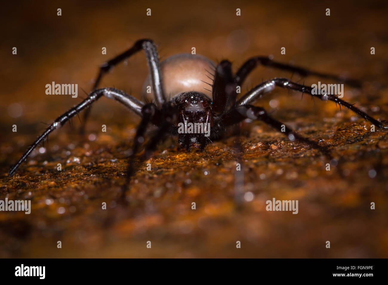 European cave spider (Meta menardi) mature female in the family Tetragnathidae, seen from in front on a rusty drain - Stock Image