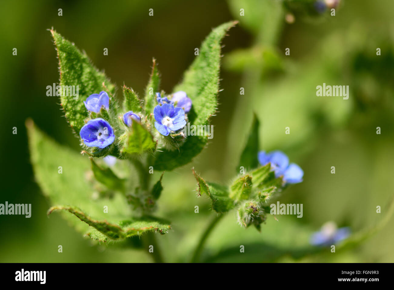 Bugloss anchusa arvensis blue flowers on a coarsely hairy plant blue flowers on a coarsely hairy plant in flower in the family boraginaceae izmirmasajfo Choice Image